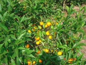 mandarins tree