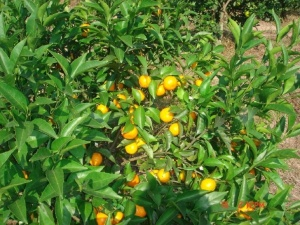 mandarins tree